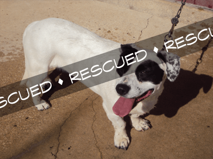 Bull Terrier Mix rescued banner 12.07.15